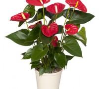 Tiểu hồng môn,hồng môn,môn hồng,vĩ hoa đỏ,vĩ hoa tròn,hồng hạc,buồm đỏ,Anthurium andraeanum,họ ráy,Araceae,cây ngày Tết,cây nội thất,Tiểu hồng môn