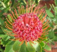 Leucospermum,quắn hoa,Proteaceae,Leucospermum (Quắn hoa)