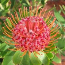 Leucospermum (Quắn hoa)