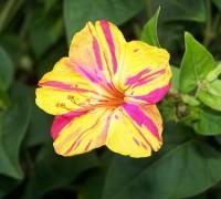 Hoa bông phấn,bông phấn,hoa phấn,yên chi,sâm ớt,hoa sâm ớt,bông bốn giờ,hoa bốn giờ,Mirabilis jalapa,Bông phấn (Yên chi,Sâm ớt)