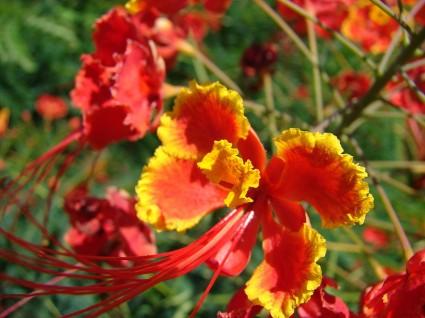 Kim phượng,cây phượng,phượng ta,điệp,điệp cúng,caesalpinia pulcherrima,Poinciana pulcherrima,chi Vang,Caesalpinia,họ Đậu,Fabaceae,phượng vĩ,phiên hồ điệp,kim phượng hoa,khổng tước hoa,hoàng hồ điệp,Kim Phượng