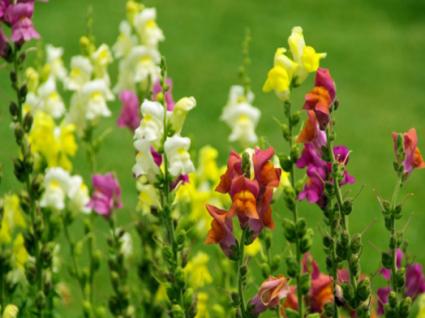 Hoa hoàng ngư,hoa kim ngư,Linaria vulgaris,Linaria,hoa mõm chó,họ mã đề,Plantaginaceae Juss,Hoa hoàng ngư