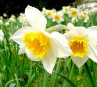 Hoa thủy tiên,hoa ngày Tết,Narcissus,sự tích hoa Thủy Tiên ngày Tết,Tết,Tết Nguyên đán,Hoa thủy tiên