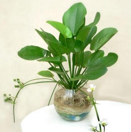 Bách thủy tiên,cây thủy tiên,từ cô lá tím,hoa cảnh,cây cảnh,cây hoa,cây nội thất,Echinodorus cordifolius,Alismataceae,Bách thủy tiên