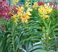 Lan mokara,mokara,phong lan,Orchidaceae,hoa lan,cây ngày Tết,Lan Mokara