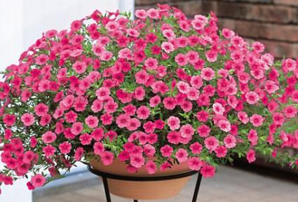 Hoa triệu chuông,Million bells,cây hoa đẹp,Hoa triệu chuông (Million bells)