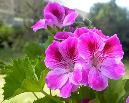 Thiên trúc quỳ,quỳ thiên trúc,Pelargonium,họ mỏ hạc,Geraniaceae,tác dụng của thiên trúc quỳ,Thiên trúc quỳ