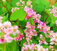 Hoa tam giác mạch,tam giác mạch,Lào Cai,Cao Bằng,Hà Giang,họ đậu,Fabaceae,Hoa tam giác mạch