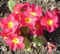 Hoa báo xuân,báo xuân,cỏ anh đào hạt nhỏ,anh thảo tiên,Primula,Primulaceae,Primula malacoides,họ anh thảo,họ báo xuân,cây ngày Tết,Hoa báo xuân