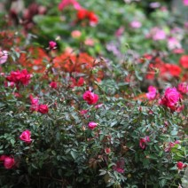 Hoa hồng quế
