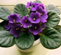 Hoa tử linh lan,tử linh lan,violet châu Phi,violet,hoa violet,Saintpaulia,African Violet,Hoa Tử Linh Lan (Violet châu Phi)