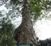 cây gỗ nghiến,gỗ nghiến,nghiến,cây nghiến,tác dụng của gỗ nghiến,Burretiodendron hsienmu,họ đoạn,Tiliaceae,Dombeyoideae,họ cẩm quỳ,Malvaceae,Phong Nha Kẻ Bàng,Cây gỗ Nghiến