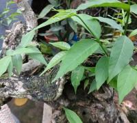 Thừng mực,cây thừng mực,cây thực mực,cây lồng mức,Holarrhena pubescens,họ La bố ma,apocynaceae,Cây thừng mực (lồng mức)