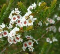 Thryptomene calycina,calycina,hoa đào kim nương,họ sim,họ hương đào,Rhodomyrtus,Myrtus,Myrtaceae,Hoa đào kim nương Calycina
