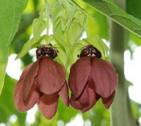 Cây tai mèo,tai mèo,cây bất thực,Abroma augusta,họ cẩm quỳ,Malvaceae,Cây tai mèo (bất thực)