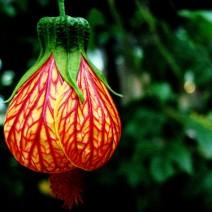 Hoa bụp lồng đèn