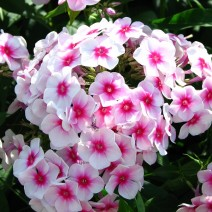 Hoa Phlox (Phơ lốc)