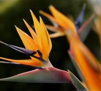 Thiên điểu,hoa thiên điểu,cây thiên điểu,hoa chim trời,hoa chim thiên đường,chim thiên đường,Strelitzia reginae,chi thiên điểu,họ chuối rẻ quạt,ý nghĩa hoa thiên điểu,ý nghĩa hoa chim thiên đường,Thiên điểu (hoa chim thiên đường)