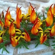 Hoa mỏ vẹt (Lotus berthelotii)
