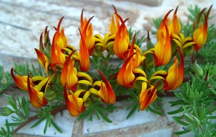 Hoa mỏ vẹt,mỏ vẹt,Lotus berthelotii,họ đậu,Fabaceae,hoa quý hiếm,hoa đẹp,Hoa mỏ vẹt (Lotus berthelotii)