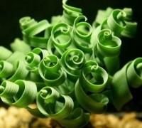 Cỏ xoắn ốc,Moraea tortilis,họ diên vĩ,họ Lay ơn,họ La dơn,Iridaceae,Cỏ xoắn ốc