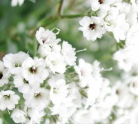 Hoa baby,baby,hoa chấm bi,Baby's breath,ý nghĩa của hoa baby,Gypsophila,Gypsophila paniculata,họ cẩm chướng,Caryophyllaceae,Happy Festival,Festival star,hoa tình yêu,hoa tình nhân,love chalk,Hoa Baby (chấm bi)