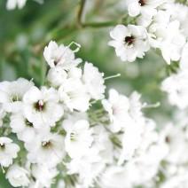 Hoa Baby (chấm bi)