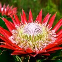 Hoa Protea (King Protea)
