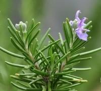 Cây hương thảo,hương thảo,cây gia vị,cây làm thuốc,Rosmarinus officinalis,họ hoa môi,Lamiaceae,Labiatae,công dụng của hương thảo,tác dụng của hương thảo,Cây hương thảo