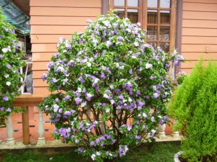 Hoa nhài Nhật,hoa Lài Nhật,nhài Nhật,lài Nhật,hoa nhài,hoa lài,lài hai màu,cà hoa xanh,Brunfeldsia hopeana Benth,Hoa Nhài Nhật (Lài Nhật)