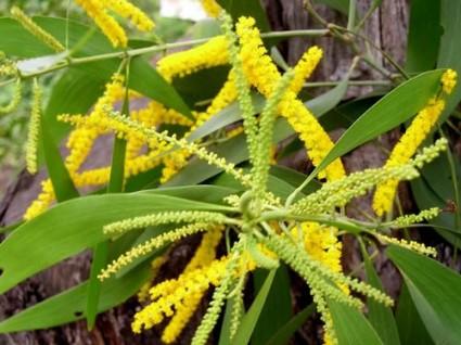 Keo tai tượng,keo lá to,keo đại,keo mỡ,keo hạt,cây keo,Acacia mangium,họ trinh nữ,Mimosoideae,cây lấy gỗ,Keo tai tượng