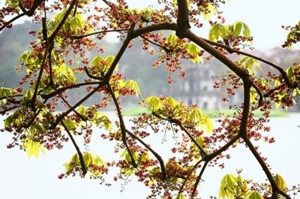 Cây hoa mõ,hoa mõ,cây hoa mõ bên hồ Gươm,cây hoa mõ bên hồ Hoàn Kiếm,Cây hoa mõ