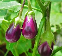 Cà tím,cà dái dê,Solanum melongena,họ cà,họ khoai tây,Solanaceae,tác dụng của cà tím,Cà tím