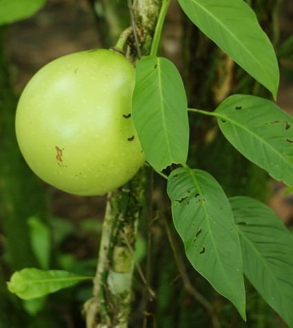 Đào tiên,cây đào tiên,cây đào,cây trường sinh,quả trường sinh,Crescentia cujete,họ chùm ớt,họ Đinh,họ Núc nác,họ Quao,Bignoniaceae,Đào tiên