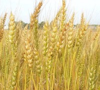 Lúa mì,tiểu mạch,cây lúa mì,cây lương thực,cây ngũ cốc,triticum,các loại lúa mì,họ hòa thảo,họ lúa,Poaceae,Lúa mì (tiểu mạch)