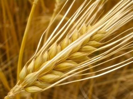Cây đại mạch,cây lúa mạch,Hordeum vulgare,họ lúa,họ hòa thảo,poaceae,công dụng của đại mạch,cây lương thực,mạch nha,Cây đại mạch (lúa mạch)