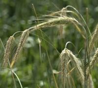 Lúa mạch đen,hắc mạch,bo bo,bobo,secale cereale,rye,cây ngũ cốc,cây lương thực,họ hòa thảo,họ lúa,họ cỏ,poaceae,Lúa mạch đen (hắc mạch, bo bo)