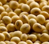 đậu tương,đỗ tương,đậu nành,glycine max,họ đậu,fabaceae,Đậu tương (đỗ tương, đậu nành)
