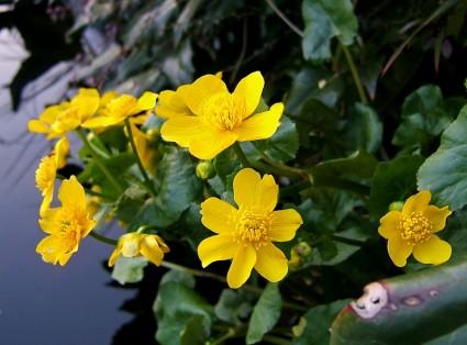 Vị kim đất ẩm,Caltha palustris,họ mao lương,họ hoàng liên,Ranunculaceae,Vị kim đất ẩm
