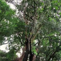 Cây gỗ Mun (mun sừng)