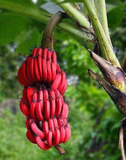 Cây chuối đỏ,cây chuối,chuối Dacca,chuối đỏ Dacca,banana,Cây chuối đỏ