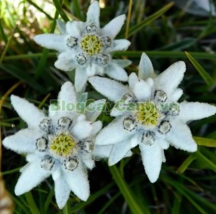 cây hoa nhung tuyết,họ Cúc, Edelweiss, họ Asteraceae, Leontopodium, Leontopodium alpinum, quốc hoa thụy sỹ, công dụng cây hoa nhung tuyết, cây hoa nhung tuyết sống ở đâu, cây hoa thùy trinh, cay hoa nhung tuyet, cây nhung tuyết, nhung tuyết,,Cây Hoa Nhung Tuyết (Cây Hoa Thùy Trinh)