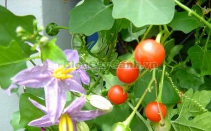 cây cà gai leo, họ cà, họ Solanaceae,Solanum procumbens lour,cây cà vạnh, cây cà cườm, cây cà quánh, cây cà quýnh, cây cà gai dây,Solanum hainanense, cây cà lù,,Cây Cà Gai Leo