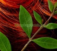 cây henna, cây lựu mọi, tác dụng cây henna, Lawsonia inermis, công dụng cây henna, thuốc mọi lá lựu, chỉ giáp hoa, phương tiên hoa, tán mạt hoa, cây khau thiên, kok khau khao youak, cây khoa thiên, henna, cay henna, cây lá móng, Cây móng tay nhuộm, cây lá móng tay, cây thuốc mọi,,Cây Henna (Cây Lá Móng)