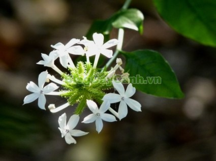 cây bạch hoa xà, công dụng cây bạch hoa xà, tác dụng chữa bệnh của cây bạch hoa xà, cay bach hoa xa, Plumbago zeylanica L., họ Đuôi công, Plumbaginaceae, cây bạch tuyết hoa, cây Chiến, cây Đuôi công,,Cây Bạch Hoa Xà