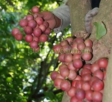 cây dâu da đất, cây dâu đất, cây dâu da, cây đỏ,Baccaurea sapida, thuộc họ Thầu dầu, họ Ba mãnh vỏ,Euphobiaceae, bộ Ba mãnh vỏ, họ Euphobiales,,Cây Dâu Rừng