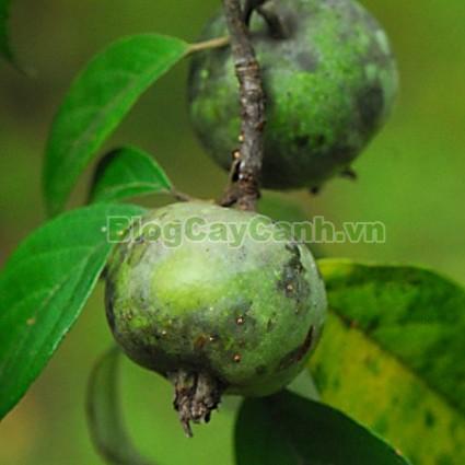 cây táo mèo, cây chua chát, cay tao meo, Docynia indica, chi Táo mèo, chi docynia, họ Hoa hồng, họ Rosaceae, cây sơn trà,,Cây Táo Mèo (Cây chua chát)