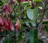 cây chò đen, Parashorea stellata Kurz., thuộc họ Dầu, họ Dipterocarpaceae, cây chò, chò đen, cay cho den,,Cây Chò Đen
