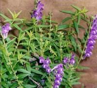 Scutellaria barbata D. Don, cay ban chi lien, cây bán chi liên chữa bệnh, thuộc họ hoa môi, cay hoang cam rau, cây hoàng cầm râu, cây bán chi liên, công dụng cây hoàng cầm râu,,Cây Hoàng Cầm Râu (Cây bán chi liên)