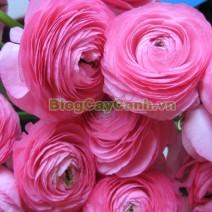 Cây Hoa Mao Lương (Cây hoa hoàng liên)